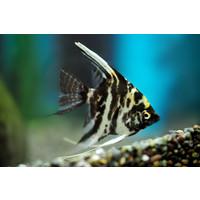 "Marble Angelfish - Pterophyllum ""Scalare"""