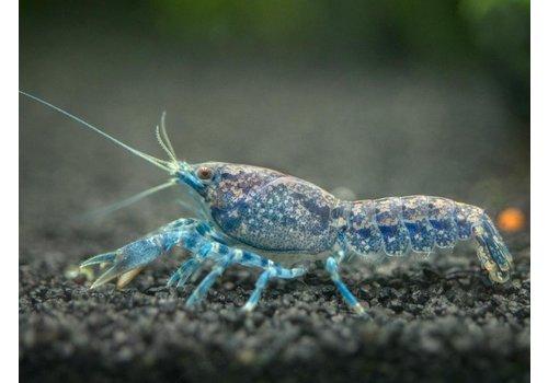 Blue Dwarf Crayfish
