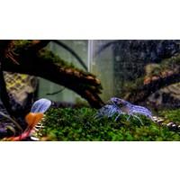 Dwergkreeft Blauw - Cambarellus Diminutus