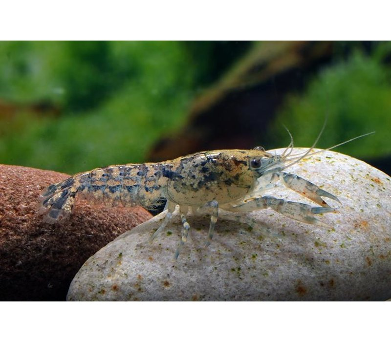 Blue Dwarf Crayfish - Cambarellus Diminutus
