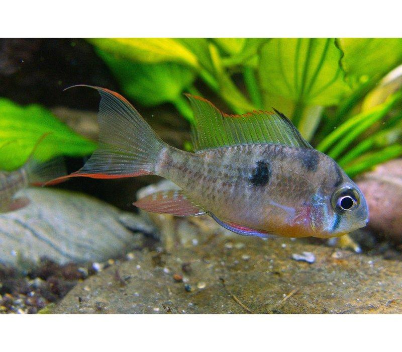 Boliviaanse Antennebaars - Mikrogeophagus Altispinosus