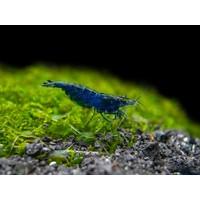 Blue Diamond Shrimp - Neocaridina Davidi Blue Diamond