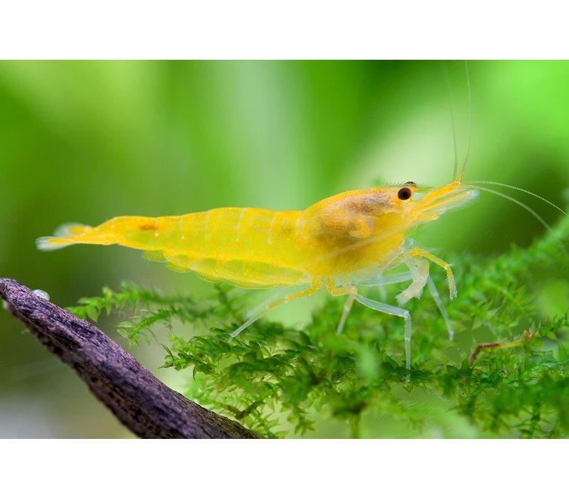 Yellow Fire Shrimp - Neocaridina Davidi var. Yellow