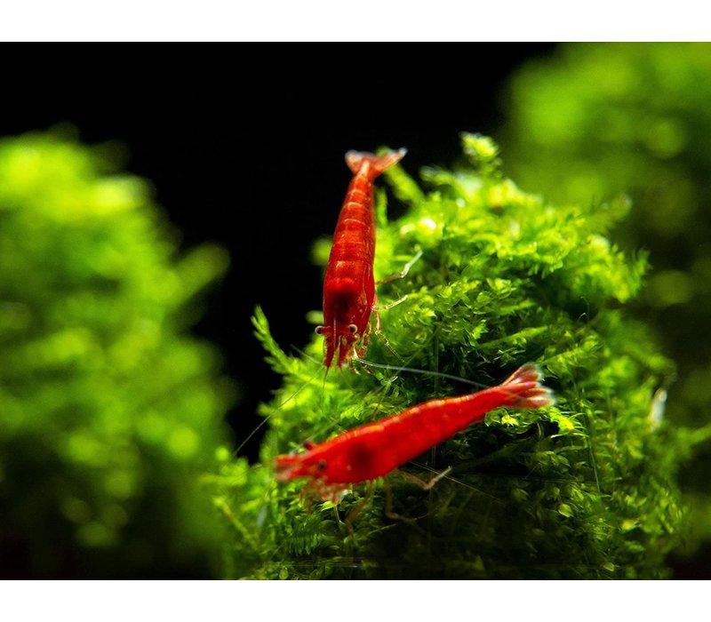 Bloody Mary Shrimp - Neocaridina Davidi Var. Bloody Mary