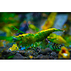 Green Jade Shrimp - Neocaridina Davidi Var. Green Jade