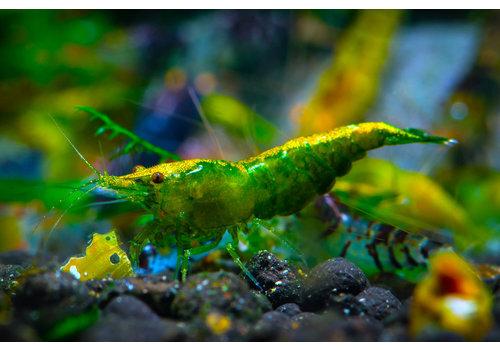 Green Jade Shrimp