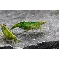 Green Jade Garnaal - Neocaridina Davidi Var. Green Jade