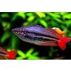 "Regenboogvis Australis - Melanotaenia Australis ""Super Red"""
