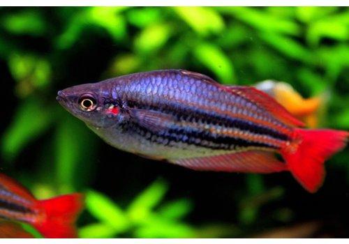 "Western Rainbowfish ""Super Red"""