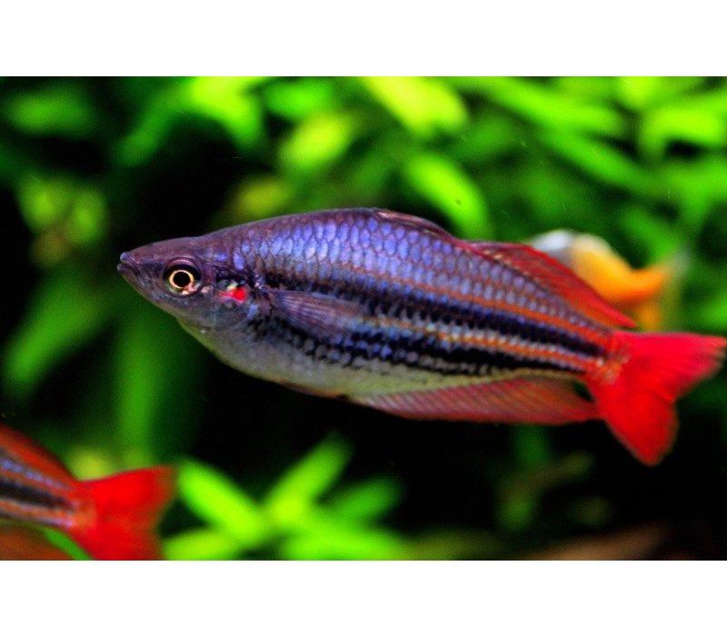 "Western Rainbowfish - Melanotaenia Australis ""Super Red"""