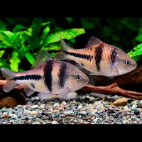Spanner Barb - Barbus Lateristriga