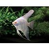 "Albino Angelfish - Pterophyllum ""Scalare"""