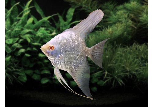Maanvis Albino