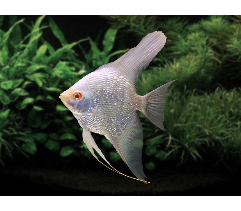 "Maanvis Albino - Pterophyllum ""Scalare"""