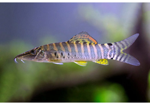 Banded Tiger Loach