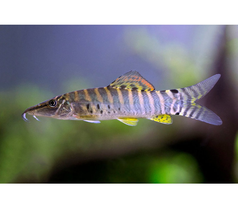 Banded Tiger Loach - Syncrossus Helodes