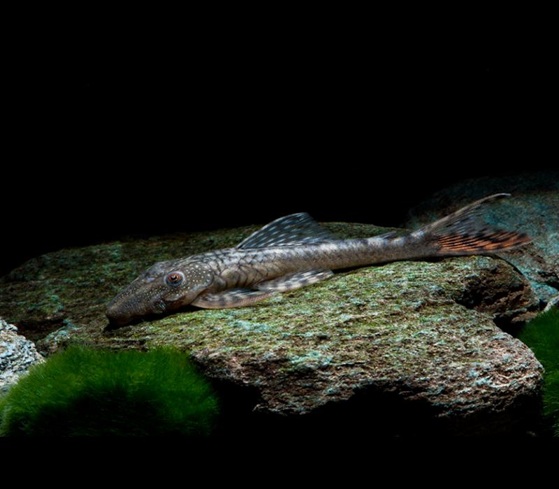 L092 - Lasiancistrus Tentaculatus