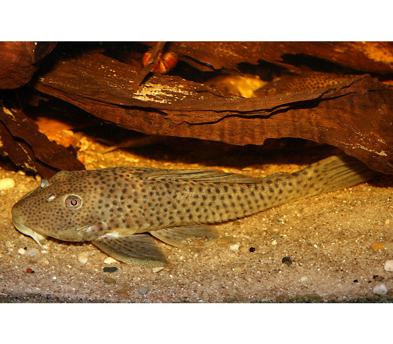 L036 - Ancistomus Spilomma