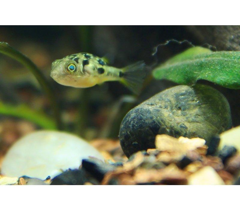 Dwergkogelvis - Tetraodon Travancoricus (Let Op - Brak Water)