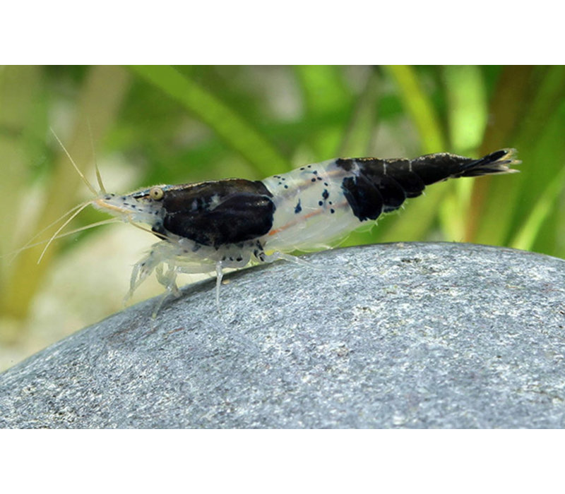Black Rili Shrimp - Neocaridina  Davidi Var. Black Rili