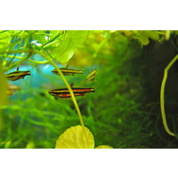 Purple Pencilfish - Nannostomus Rubrocaudatus