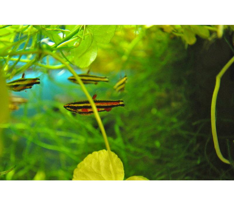 Dwergspitszalm Paars - Nannostomus Rubrocaudatus