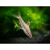 Gespikkelde Kopstaander - Chilodus Punctatus