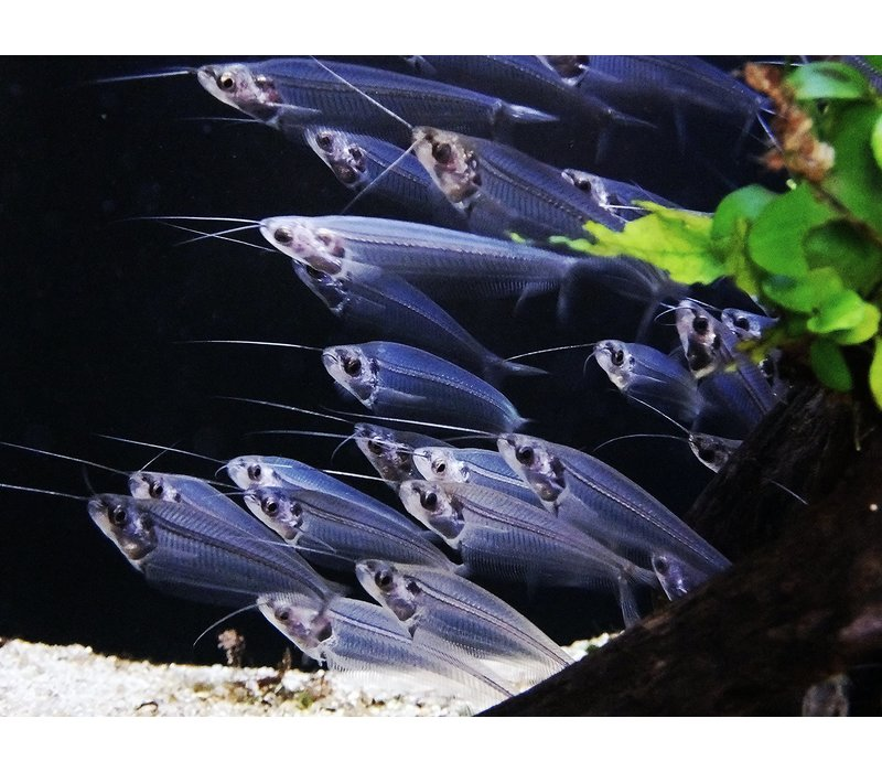 Glass Catfish - Kryptopterus Vitreol