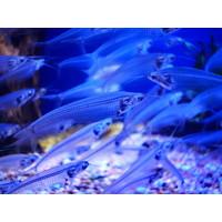 Indische Glasmeerval - Kryptopterus Vitreol (Let Op - Brak Water)