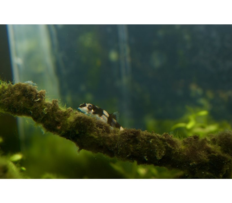 Panda Goby - Protomyzon Pachychilus