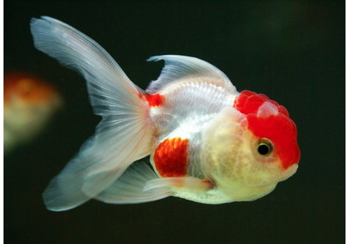 Lionhead Goldfish with Dorsal Fin