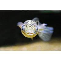 Green Spotted Pufferfish - Tetraodon Nigroviridis
