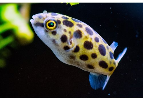 Green Spotted Pufferfish