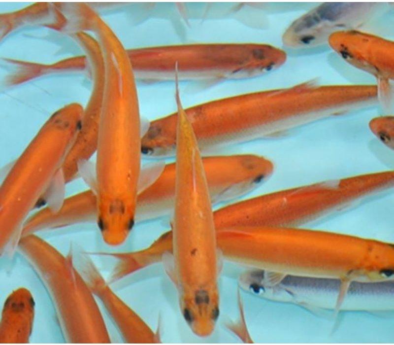 Goudwinde - Leuciscus idus melanotus