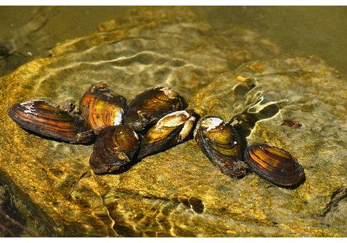 Duck Mussel