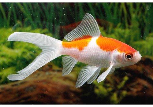 Goldfish Sarasa