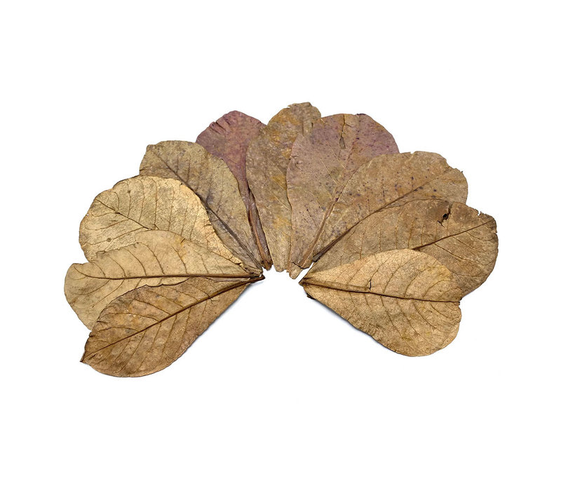 Indian Almond Leaves - Catappa Leaves