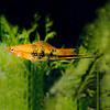 Zwaarddrager Tijger - Xiphophorus Helleri