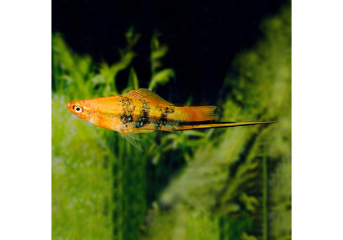 Tiger Swordtail