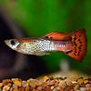 Guppy Man - Red Cobra - Poecilia Reticulata