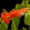 Guppy Man - Coral Red - Poecilia Reticulata