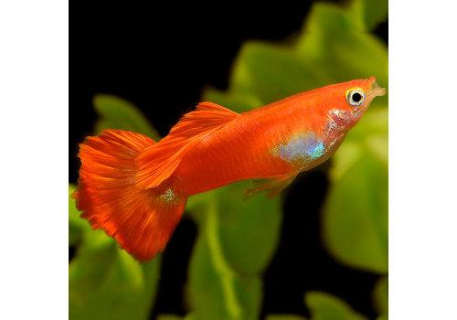 Guppy Man - Coral Red