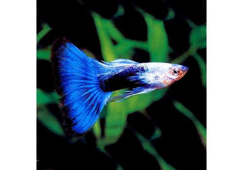Guppy Man - Blue Metallic