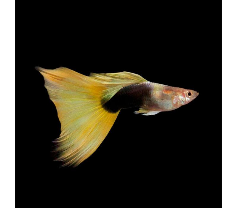 Guppy Man - Yellow Tuxedo - Poecilia Reticulata