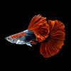Guppy Man - Bicolor Red - Poecilia Reticulata