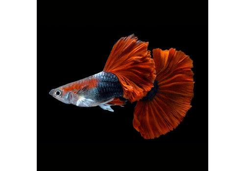 Guppy Male - Bicolor Red