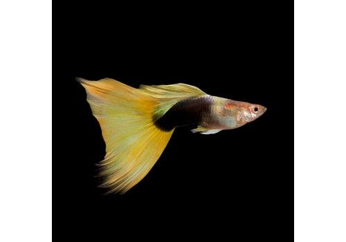 Guppy Male - German Yellow