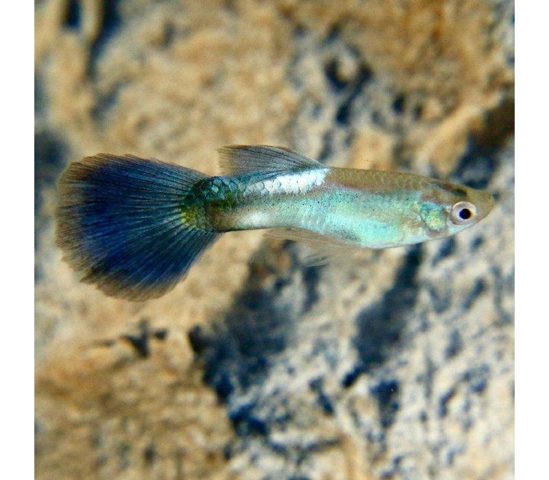 Guppy Man - Rainbow Blue Tail - Poecilia Reticulata