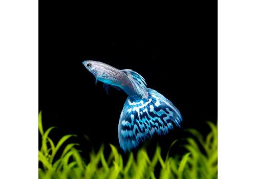 Guppy Male - Blue Mosaic