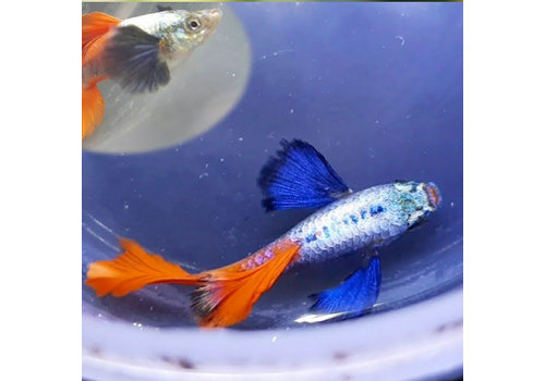 Guppy Male - Red Tail Big Ear